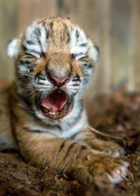В шведском зоопарке родились амурские тигрята (фото)