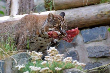 В немецком зоопарке родились детеныши редкой золотой кошки