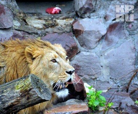 В Московский зоопарк привезли льва из Цюриха