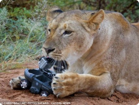 Львы тоже любят игрушки