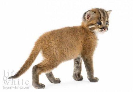 Детеныши золотой кошки из германского зоопарка