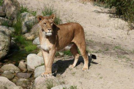 Львята на прогулке