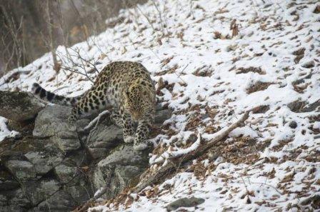 Дальневосточный леопард заснят на видео