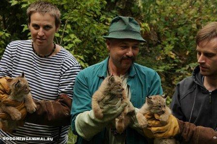 В Брно родились три детеныша канадской рыси