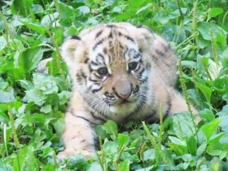 В Казанском зоопарке родился юбилейный тигрёнок (фото)