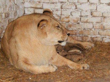 В Луцком зоопарке львица показала своих львят