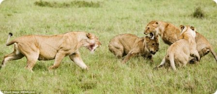 Молодые львы оттачивают свои боевые навыки