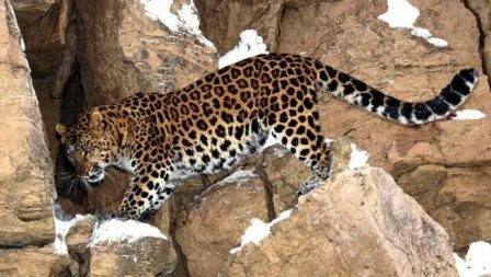 В леса Северной Осетии вернулся переднеазиатский леопард