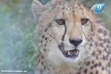 В зоопарк Сочи привезли гепардов
