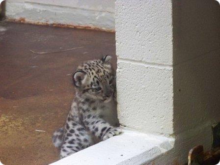 В зоопарке Мемфиса родился детеныш ирбиса