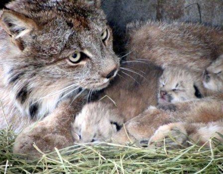 Забавные котята рыси демонстрируют свою ловкость в Горном зоопарке Шайен