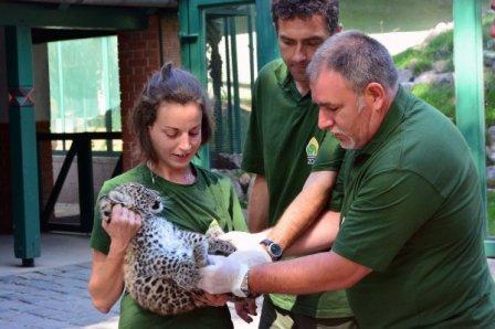 Дебют детеныша персидского леопарда в Зоопарке Будапешта