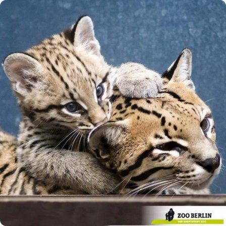 Детеныш оцелота из зоопарка Берлина