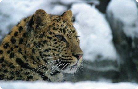 Имя для леопарда с белыми лапами