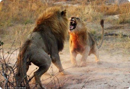 На защиту молодого льва встали его самки