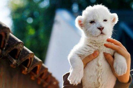 В зоопарке Сербии родился белый львенок