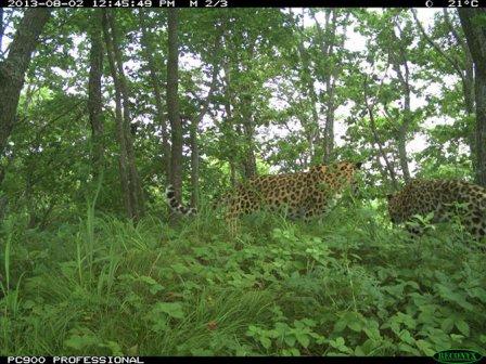 В Приморье в фотоловушку попался детеныш редчайшего леопарда