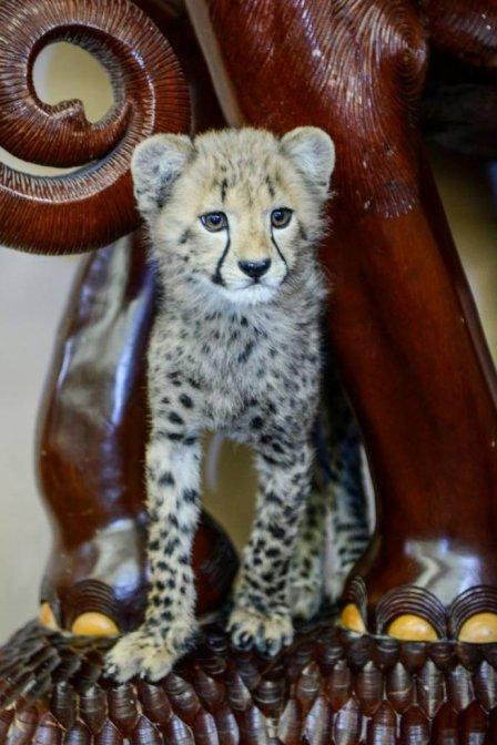 Детеныши гепарда из зоопарка Далласа