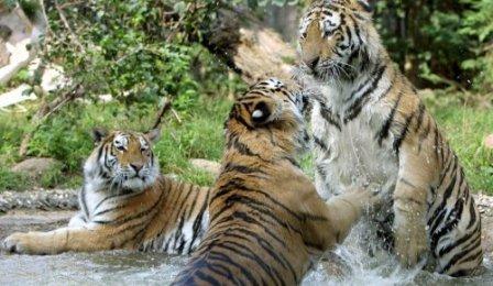 В Приморье появится парк для амурских тигров