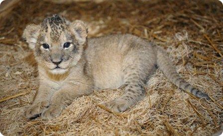 Львята из зоопарка Мэриленд