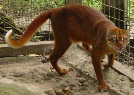 На Борнео засняли редкую калимантанскую кошку