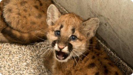 Зоопарк Орегона временно приютил детенышей пумы