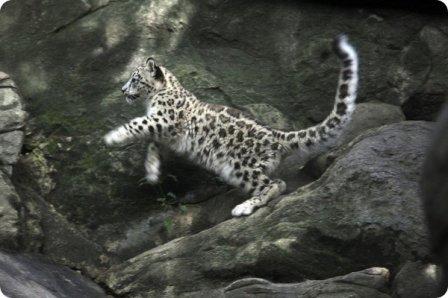Снежные барсы из зоопарка Нью-Йорка