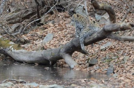 Трех котят дальневосточного леопарда засняли на камеру