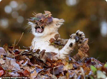 Львенок, который любит играть с опавшими листьями