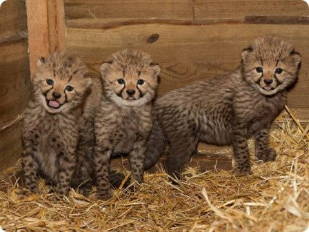 Троица гепардов из зоопарка Бюргерс