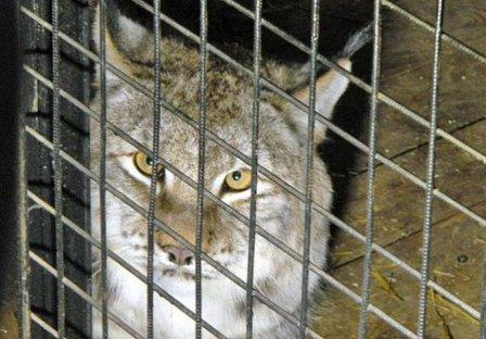 В самарский зоопарк из Якутии привезли пару рысей