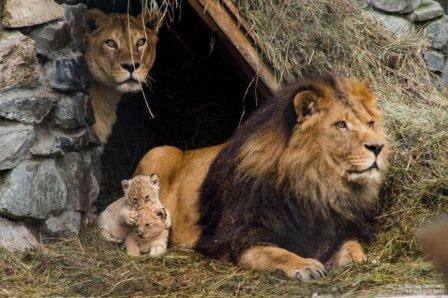 В зоопарке Новосибирска родились львята