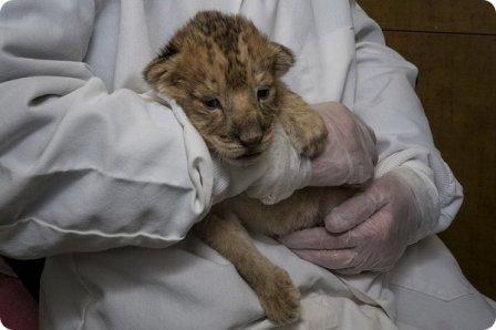 Львята из зоопарка Сан-Диего