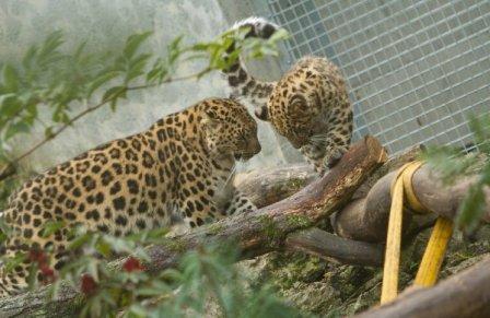 Малыши амурского леопарда из Таллиннского зоопарка переезжают в разные страны