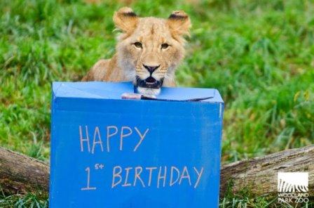 Зоопарк Woodland Park празднует день рождения львят