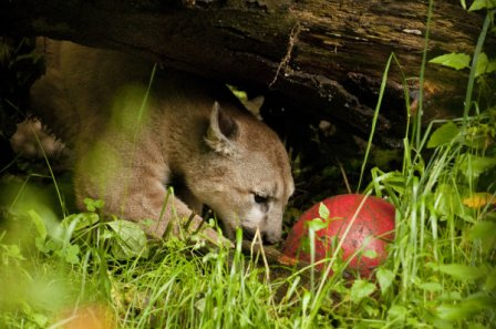 Орегонский зоопарк: новая игрушка для кугуаров