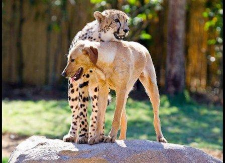 Гепарды зоопарка Сан-Диего и их компаньоны-собаки