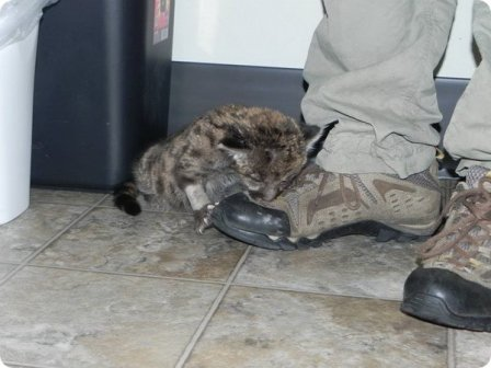 В зоопарке Лоури выхаживают детеныша флоридской пумы