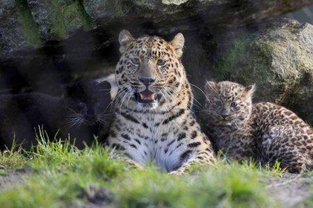 В немецком сафари-парке родились детеныши амурского леопарда