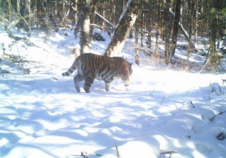 Тигрица Золушка может родить первого тигренка в ЕАО