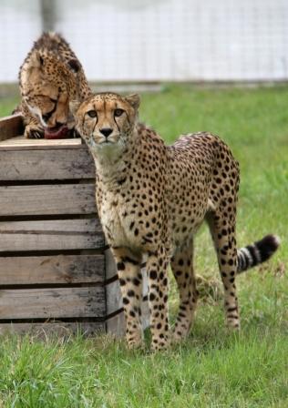 Новые обитатели зоопарка Веллингтона — два гепарда