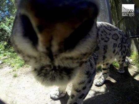 Новый питомец Зоопарка Woodland Park — снежный барс Дирин