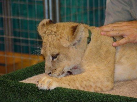 Под Анапой спасли львенка, отобрав у фотографа