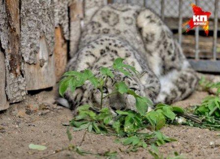 В пермский зоопарк из Чехии привезли снежного барса