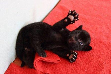 В Китае родился уникальный черный тигренок без полосок