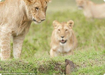 Отважный мангуст из Масаи-Мара отбился от четырех львов