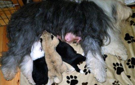 В Польше собака выкармливает львенка вместе со своими щенками