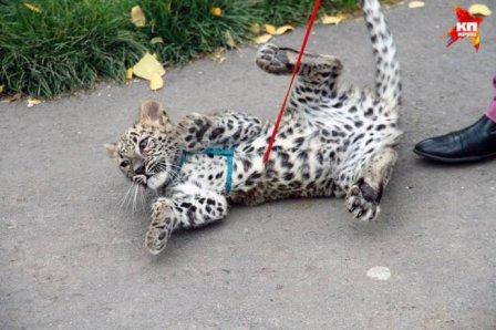 В Барнаульском зоопарке выгуливают детеныша леопарда