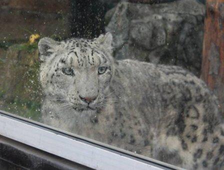 В Красноярский зоопарк на пять лет привезли самца снежного барса
