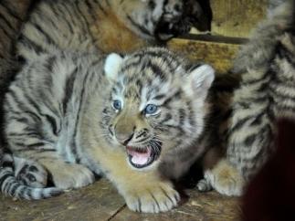 Тигрица из Красной Книги поселилась в зоопарке Васильевки